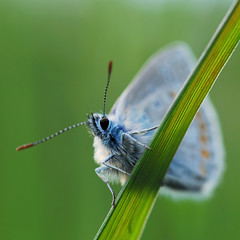 Common blue I | by Garcia Foto