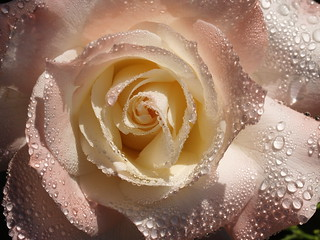 dewdrop rose | by r.moreira32