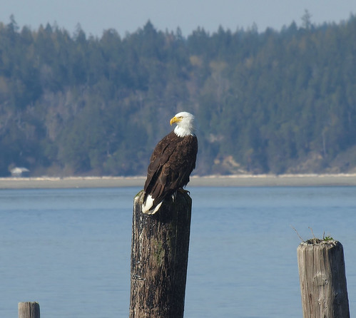 Bald Eagle, Seabeck, WA. | by Letsemgo