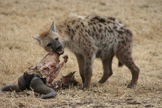 Hyena Serengeti | by appenz