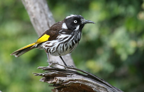 New Holland Honeyeater | by Birds of the South