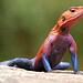 Agama lizard (Agama agama)