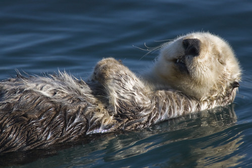 Adult Sea Otter (Enhydra lutris)  in Morro Bay, CA - This is one of my better photos | by mikebaird