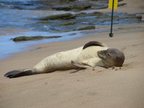 Monk Seal | by irmiller