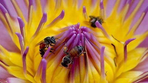 bees-drones