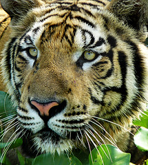 Sumatran Tiger ; i want to see you closer | by tropicaLiving - Jessy Eykendorp