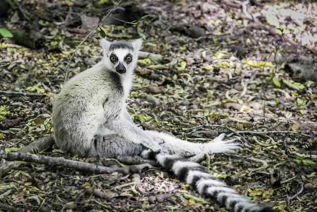 Lemures en Madagascar