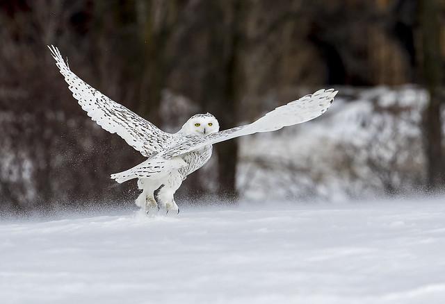 Harfang des neiges femelle