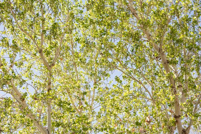 new leaves on trees