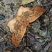 TAWNY ANGLE, Ctenoptilum vasava, Namdapha National Park, Arunachal Pradesh, India.