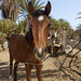 Arabian horse - Saudi Arabia