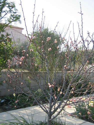 arbre fruitier p cher 39 reine des vergers 39 jpg codognanais fran ois canto flickr. Black Bedroom Furniture Sets. Home Design Ideas
