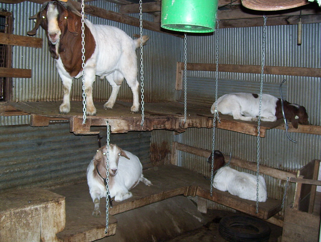 Old Bunk Beds To Goat Shelter