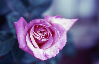 Rose 2 | by DY Pics