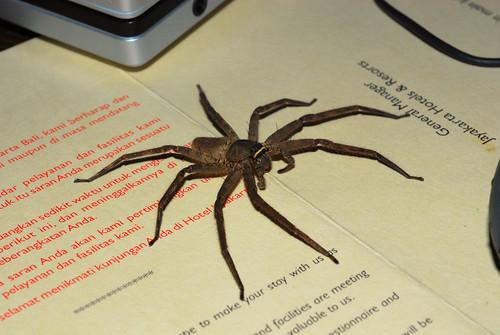 Bedside Spider Huntsman Spider What Do You Do When You