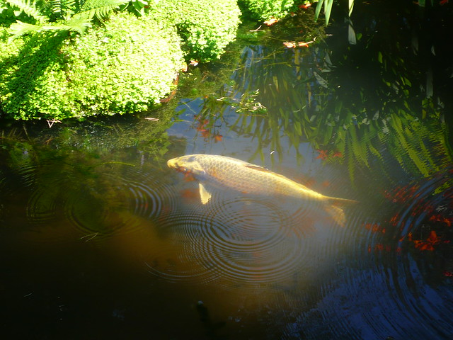 coy carp flickr photo sharing