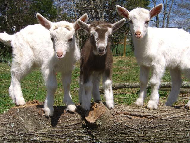Dairy goat kids in Asheville, North Carolina | Month-old Saa… | Flickr
