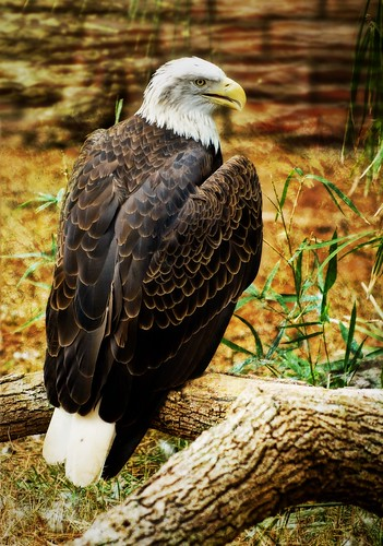 The American Bald Eagle | by Stuck in Customs