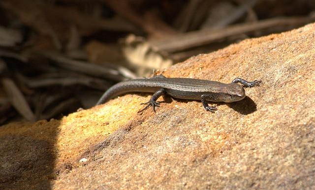 common garden lizard by michael plonus - Garden Lizard