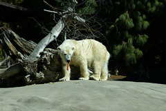 Polar Bear in San Diego Zoo | by TOTORORO.RORO