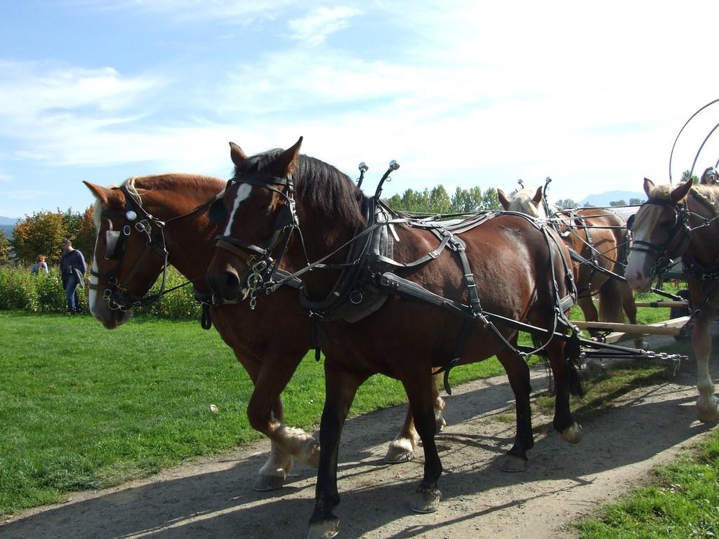 Pulling A Wagon : Draft horses pulling a wagon meghan n flickr