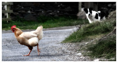 Why the chicken crossed the road... | by atomicpuppy68