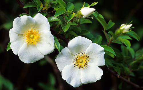 Wild cherokee roses two buds two blooms jeff milsteen for Cherokee rose