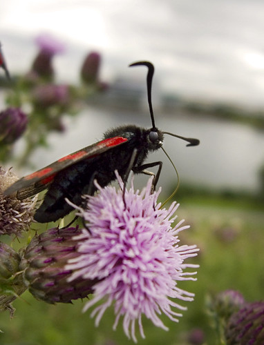 six-spot burnet by the lakeside | by Johnson Cameraface