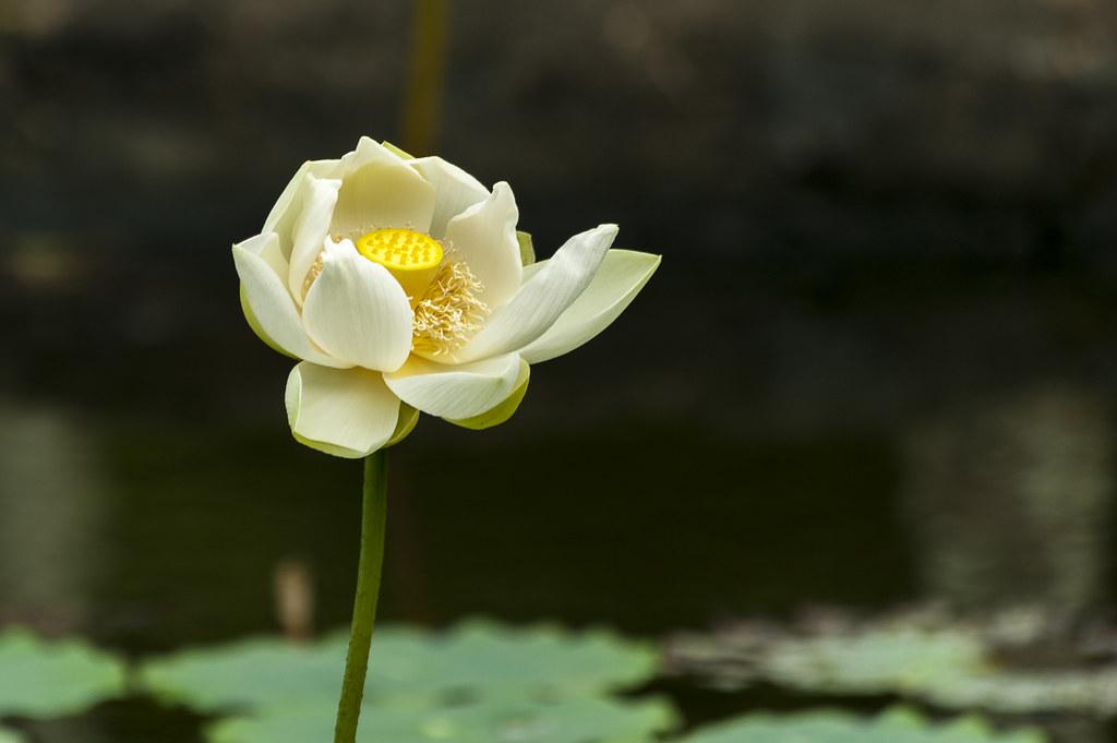 Ile Maurice 2016 02 143 Magnifique Fleur De Lotus Pa Flickr