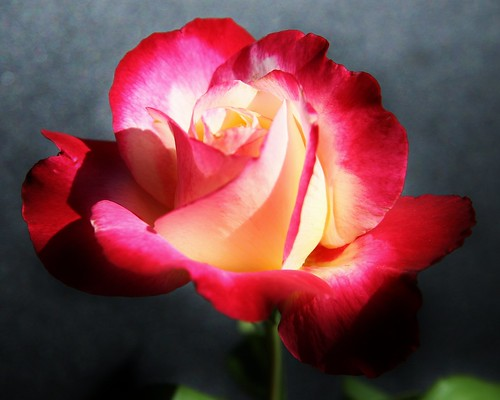 My southern rose | by o-rusty-nail
