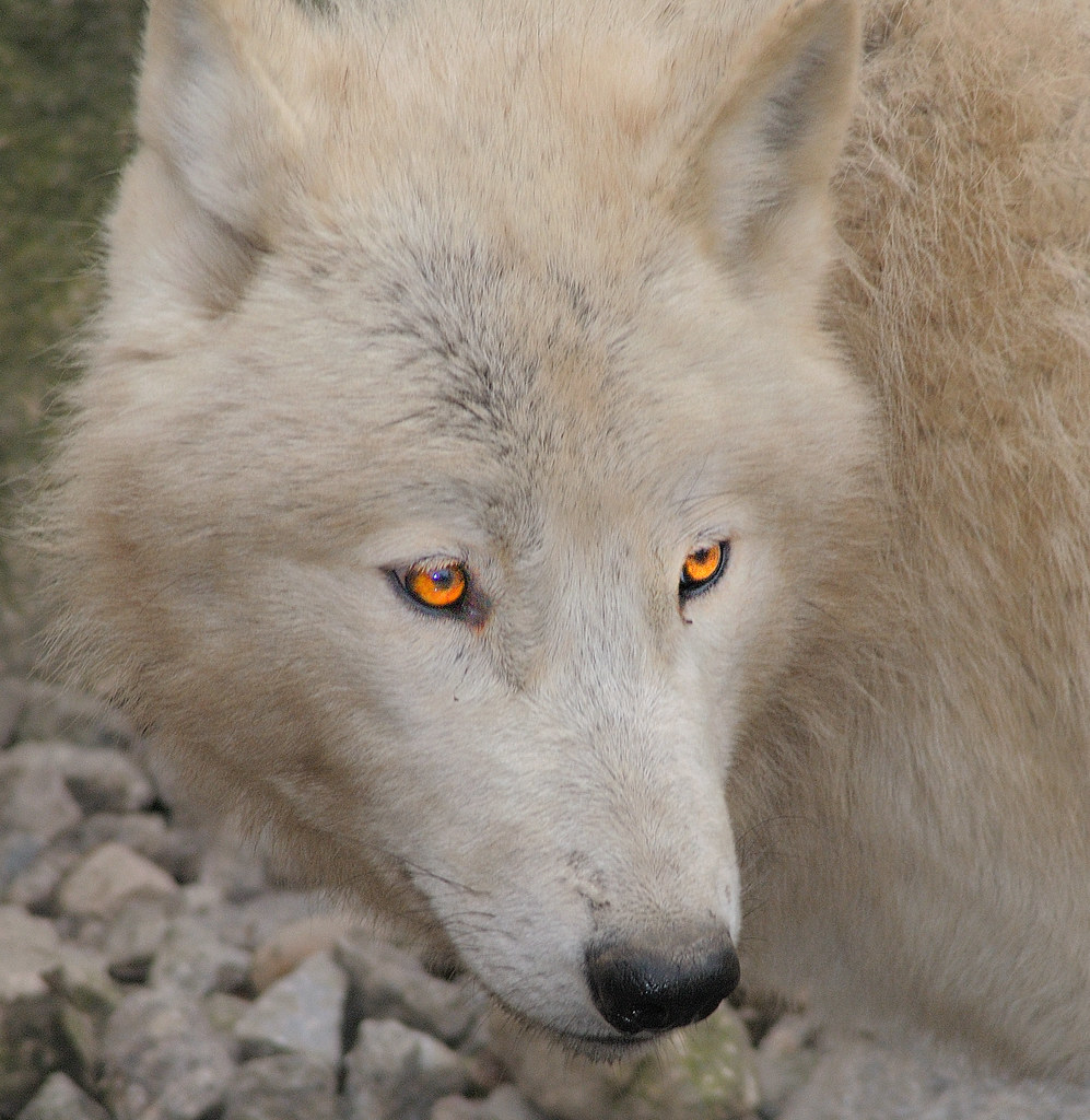 Golden Brown Wolf With Blue Eyes white wolf | The Hunte...