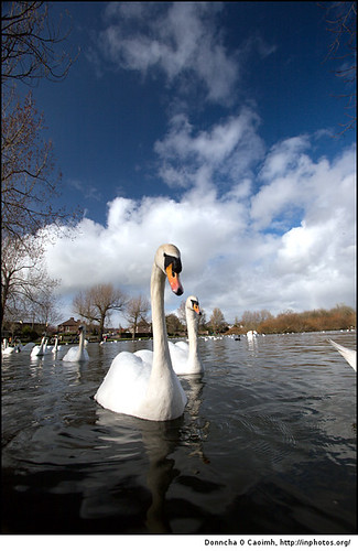 Swans on The Lough | by Donncha Ó Caoimh