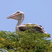 Pelican Living With Humans