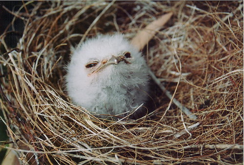 tawny frogmouth - nestling | by bowerbird enigma