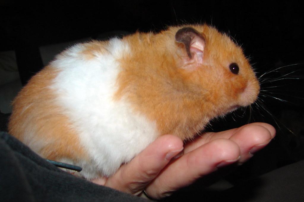 Big Hamsters Big Fat Hamster | by Jodi