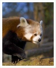 Red Panda | by Robbie Kennedy (Expresbro)