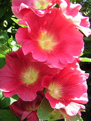 Hollyhock | by Katie-Rose