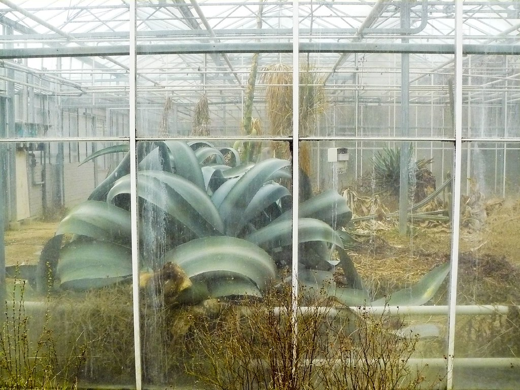 An agave growing massive in this long-abandoned greenhouse [1024x768]