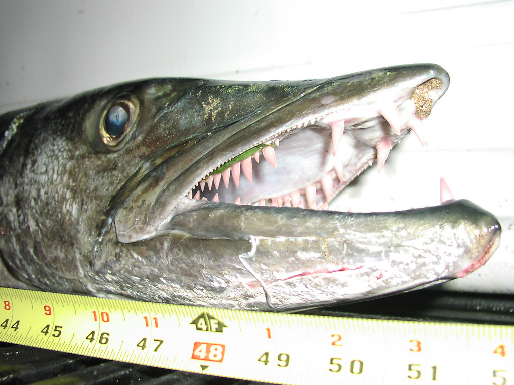 Barracuda Teeth | This fish can definitely do some damage ...