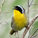 My Quest for the Yellowthroat (5 Shots)