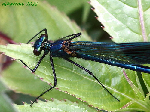 Macro Male Banded Demoiselle,calopteryx splendens.Explored | by claylaner