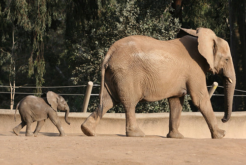 7 week old Little Kamile follows her mom Moya | by kjdrill