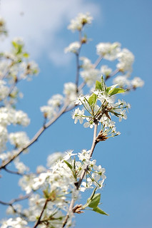 pear blossom | by hurrayic