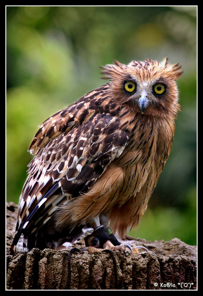 Buffy Fish Owl Scientific Name 39 Bubo Ketupu 39 Formerly