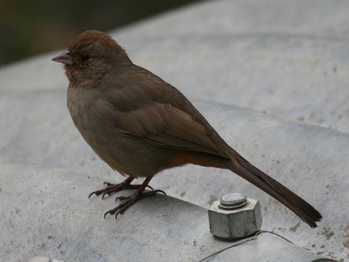 California Towhee-IMG_7799-MV Baylands | by gimlack