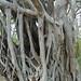 Matapalo Tree on Black Stallion.