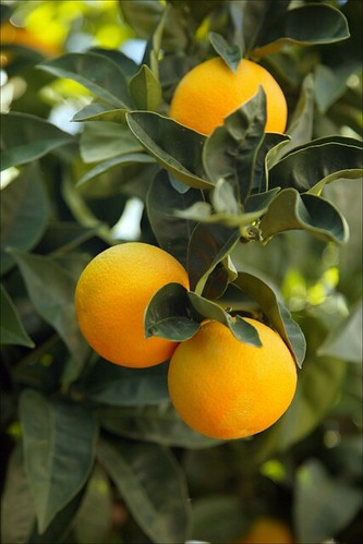 Citrus~ N-33 Naval Orange | by littlegemtrees