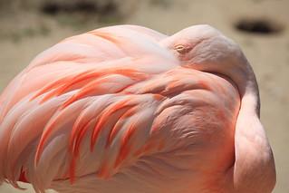 Flamingo / Phoenicopterus / フラミンゴ  Yama-Jigoku, Beppu-shi ...