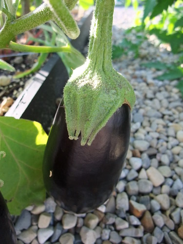 Eggplant in Our Garden 8/2/09 | by swampkitty