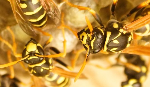 wasp pictures30003_ | by marv joustra